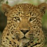 gepard_kot_glaza_sherst_ushi_10