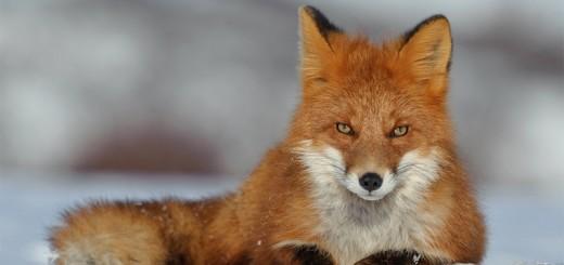 lisica-obyknovennaja