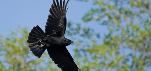 350D_051409_Crow