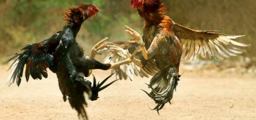 cock_fighting_01
